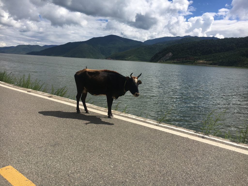 one cow standing in the middle of a paved road with lake and mountains in background