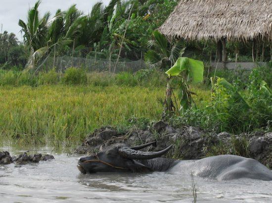 water buffalo in swampy wetland